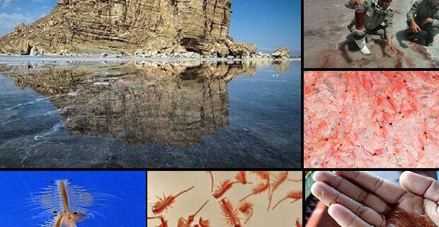 آرتمیابه شرایط بحرانی بازگشت/توقف زادآوری تنهاموجود دریاچه ارومیه