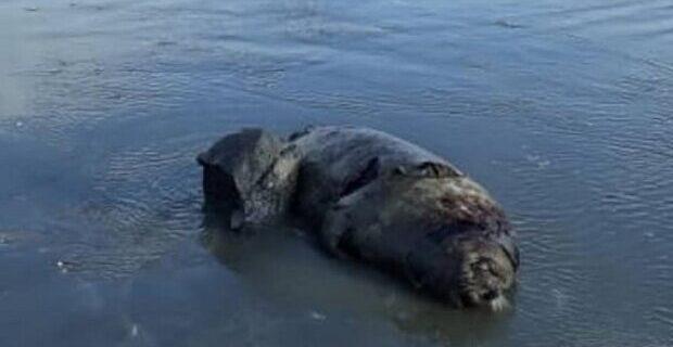 تلف شدن ۱۴ قلاده فک خزری سال جاری در ساحل مازندران