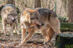 حمله گرگها به چوپان کوهرنگی/ امدادرسانی هلالاحمر